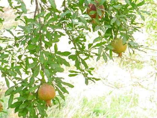Dowlatabad Garden's Pomegranates' Tree - Yazd / 19th October 2001